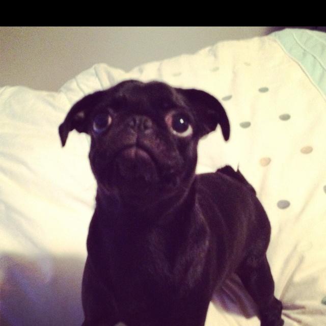 Worried pug is worried