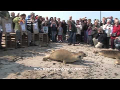 Groep 7 van de 'Op Avontuur' school uit Kolhorn laat adoptie zeehond Zwarte Piet vrij! Wil je zelf ook met je klas een zeehond vrijlaten? Kijk dan op onze we...
