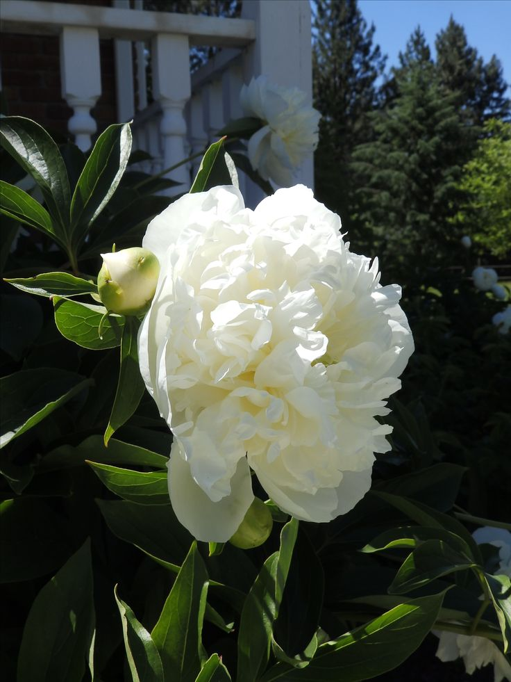 The white Peonies in our courtyard smell absolutely heavenly!