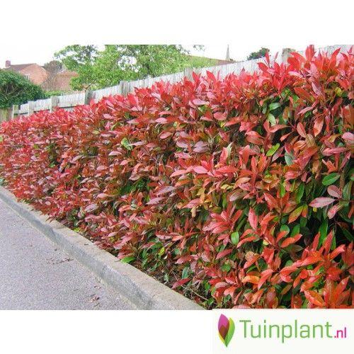 Glansmispel haag Photinia kopen | Tuinplant.nl
