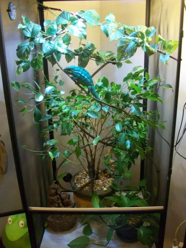 Panther Chameleon Facts, Habitat, Diet, Life Cycle, Baby, Pictures