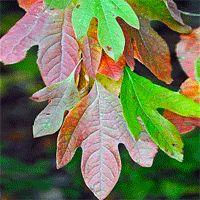 Sassafras Trees | Buy online at Nature Hills Nursery