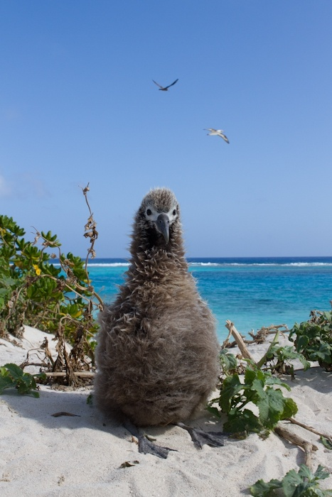 Albatross chick photographed on Midway Atoll, by Jaymi Heimbuch. Midway Atoll (also known as Midway Island or Midway Islands, Hawaiian: Pihemanu) is a 6.2 square kilometer atoll located in the North Pacific Ocean  about one-third of the way between Honolulu and Tokyo.