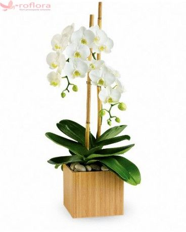 Thank You - Orhidee phalaenopsis alba