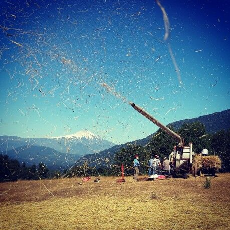 Traditional wheat threshing in #PUCÓN #CHILE with #villarricavolcano in the back