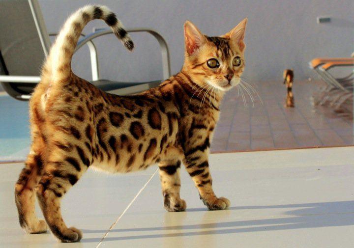 Chat du Bengal. Juste magnifique ce chat.