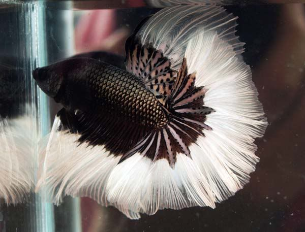 Rare betta fish my husband and i just ordered a for Black and white betta fish