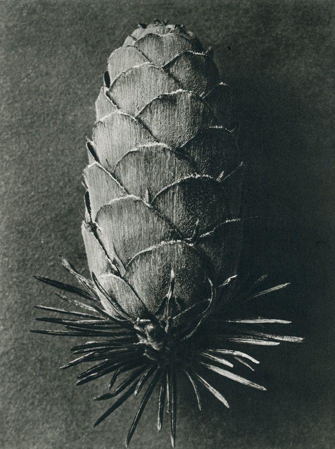 Karl Blossfeldt, Lerix decidua (Larch) 1st Edition photogravure 19.7 x 26.4 cm