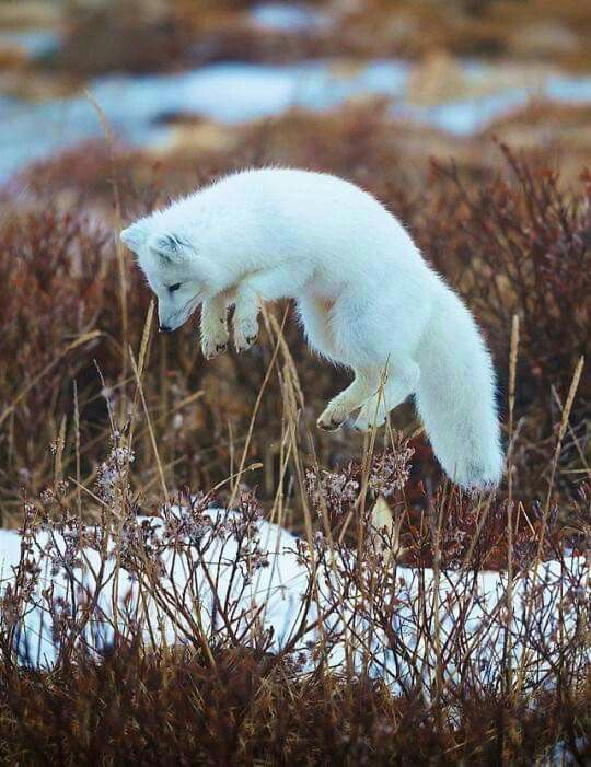 Arctic Fox...love their short ears
