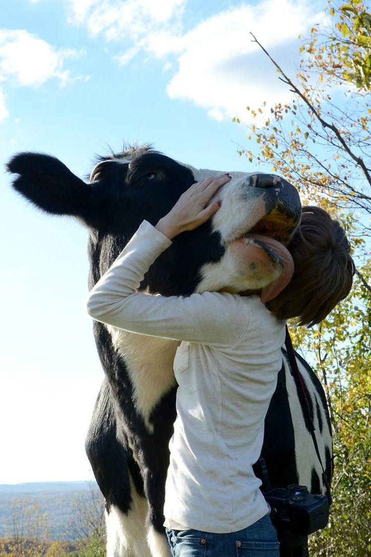 Cow love.