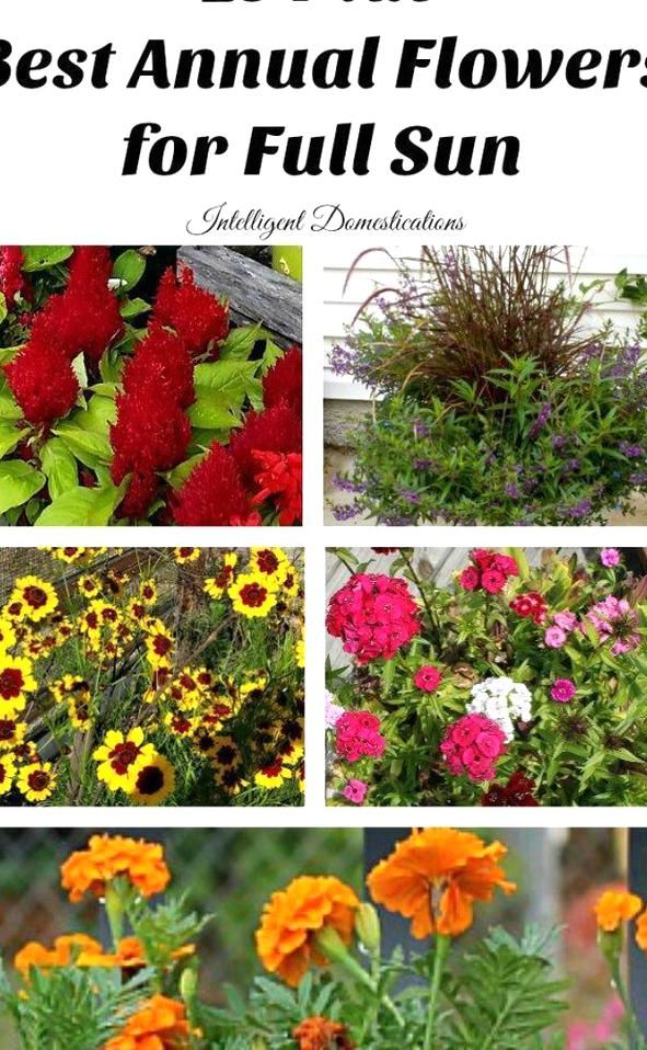 Best Annual Flowers For Full Sun Best Selection Of Annual Flowers To Plant In A Sunny Yard Annual Flowers You S In 2020 Annual Flowers Full Sun Flowers Full Sun Garden