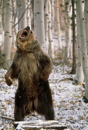 Google Image Result for http://www.sciencephoto.com/image/386523/large/Z9270006-View_of_a_brown_bear_standing_and_growling-SPL.jpg