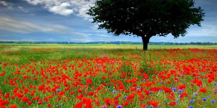 Why do British wear poppies every November?  Vì sao người Anh lại cài hoa anh túc lên ngực áo vào tháng 11?
