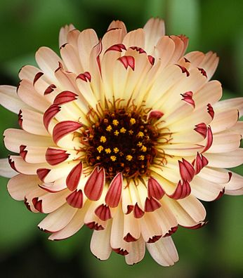 Calendula officinalis 'Bronzed Beauty' Try partnering with ruby-leaved Heuchera 'Melting Fire', Annie's Annuals & Perennials -