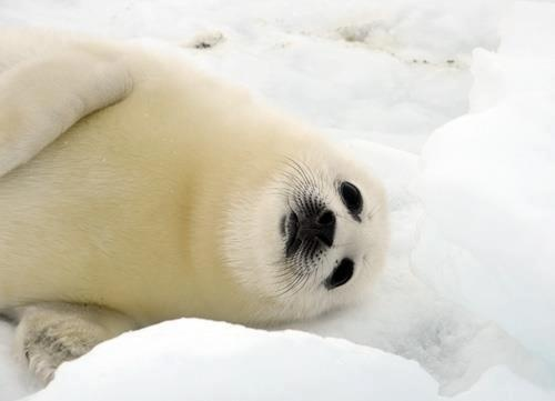 17 Best images about Baby harp seals on Pinterest | Harp ...