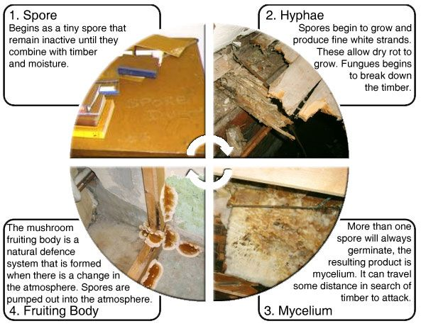 This diagram illustrates the four stages of the dry rot lifecycle: http://www.wisepropertycare.com/dry-rot   #dryrot #damp #leaks #propertycare #propertyproblems #property #realestate #home #DIY #homeimprovement #rot #wetrot #dampproofing