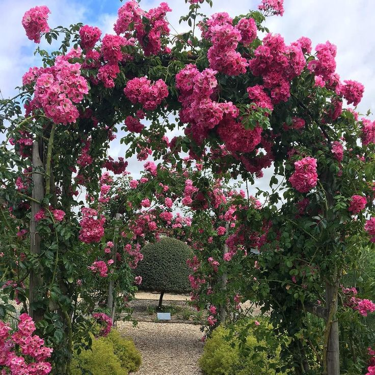 Love the way the American Pillar roses look like fluffy pink pom-poms #houghtonlodgeflowers #houghtonlodgegardens #gardenlovers #gardensofinstagram