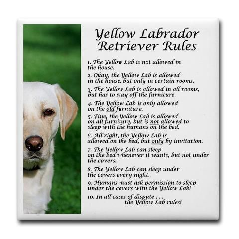 funny pictures of yellow labs - Google Search