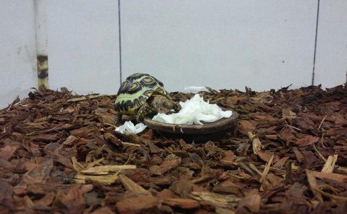 ボード リクガメ Tortoise のピン