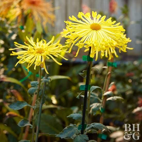 Photo Proof That Mums Really Are The Best Fall Flower Autumn Garden Fall Mums Hardy Mums
