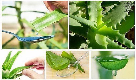 Большое преимущество сока алоэ в том, что он используется как для внутреннего, так и для наружного применения. Для [...]