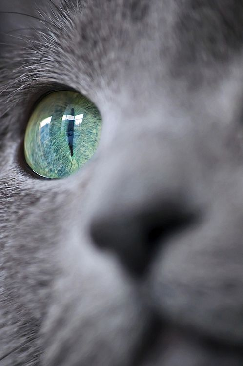A most beautiful cat eye. Cat's like this are usually either Russian Blues or Korats. These are beautiful animals with green eyes and plush blue-gray fur. I used to have a Russian Blue, myself.