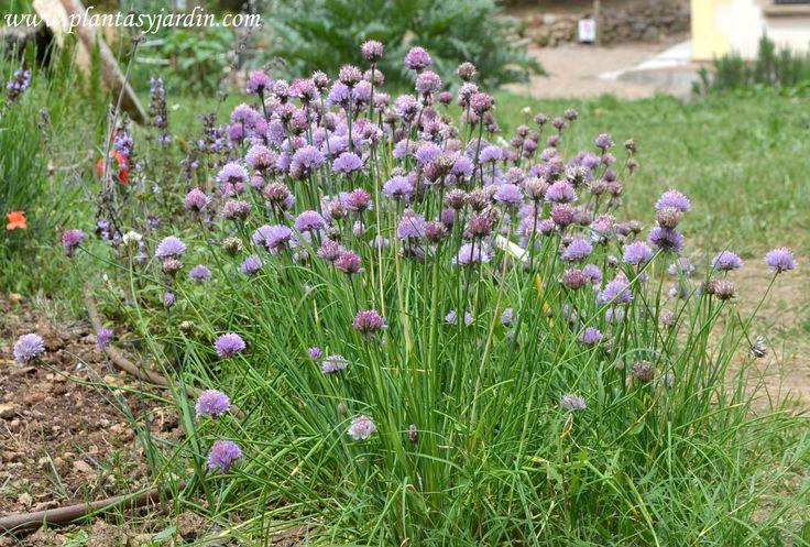 Allium schoenoprasum, Ciboulette o Cebollino en flor