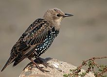 Common starling - Wikipedia