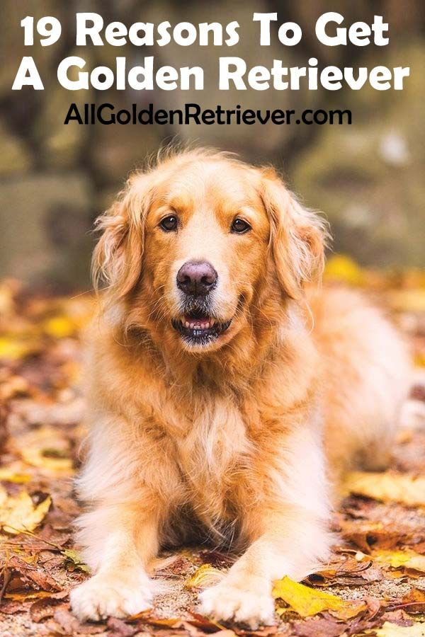 19 Reasons To Get A Golden Retriever All Golden Retriever In 2020 Golden Retriever Dog Breeds That Dont Shed Low Maintenance Dog Breeds