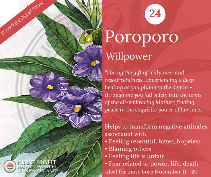 Poroporo - Willpower - helps to develop a disciplined will in the face of difficulty and to know everything is possible. Assists in becoming the conscious creator of your own destiny and to discover untapped physical, emotional and mental resources. Use for longstanding deep emotional sadness, constant tiredness due to ongoing suffering and unexpressed emotions. Personal power flower for those born Nov 11-20 (Scorpio).
