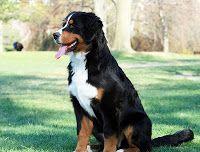 Bernese Mountain Dog - The dog i want =)