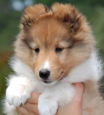 sheltie puppies... SO FLUFFY!!