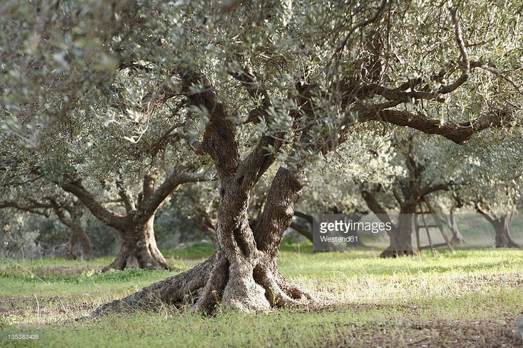 Stockfoto : Greece, Crete, Olive tree in olive orchard