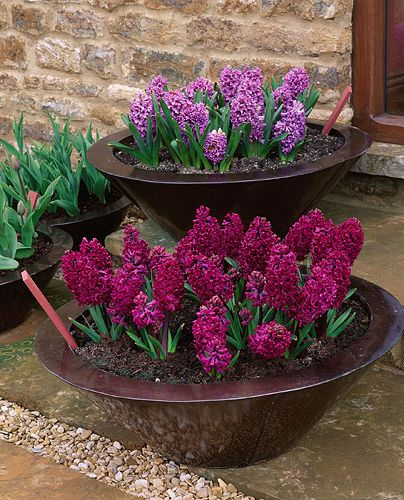 Spring container. Hyacinths