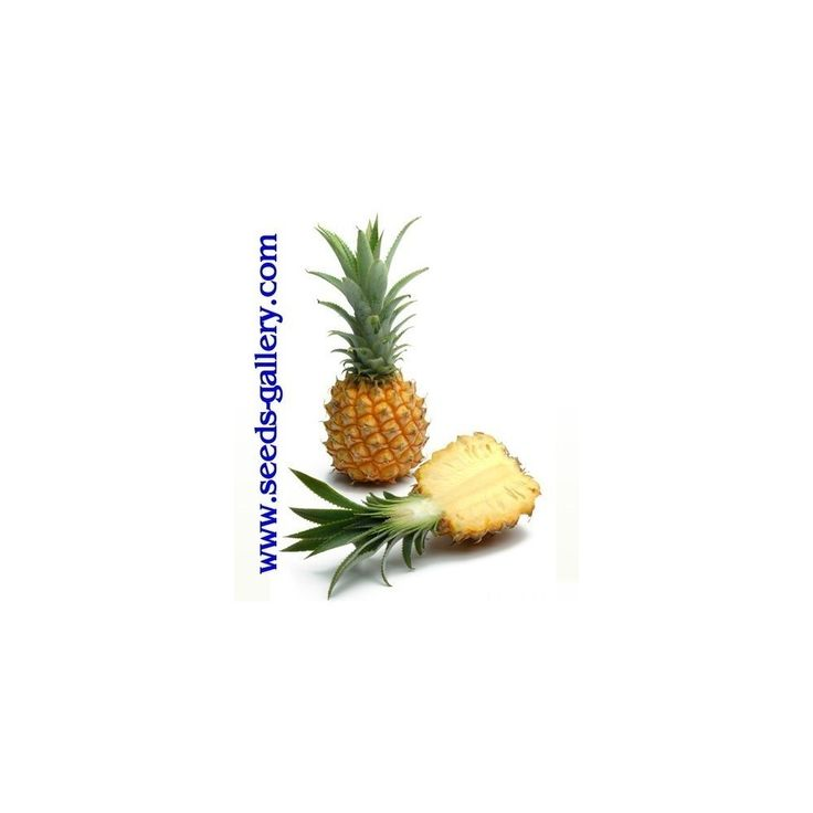 Ananas nanus 'Miniature Pineapple' Seeds  3,00€  Ananas nanus 'Miniature Pineapple' Seeds Price for Package of 5 seeds. A miniature version of the larger species of pineapple is the baby pineapple, also referred to as a mini pineapple. This variety of fruit grows only to a height of 12 to 15 cm with a diameter of approximately 9,5 cm. The flavour and appearance of the baby pineapple is the same as the larger pineapple. However, the i