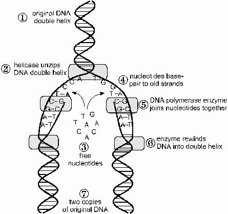 Image result for DNA molecule diagram