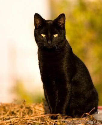 Black Cat With Yellow Eyes | Romeo - Black Cat------- that ...