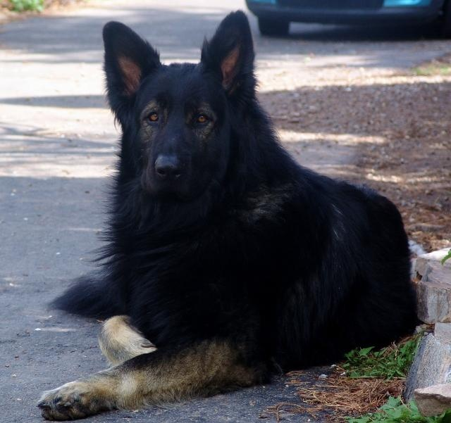 25+ best King shepherd ideas on Pinterest | King german ... Black King Shepherd Puppies
