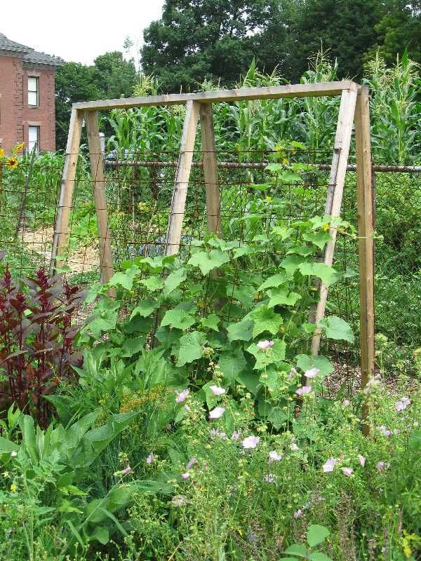 cucumber trellis bob pinterest gardens homemade and