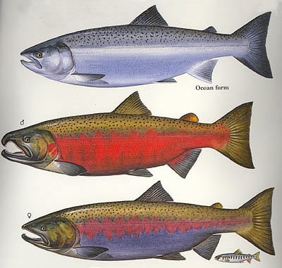 Coho Salmon, ocean stage (top) and spawning stage coloratiuon of male center, female below...