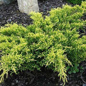 Juniperus Pfitzeriana GoldKissen (Juniper) 40-50cm 7.5Ltr