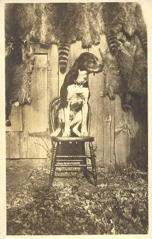 Walker coon hound