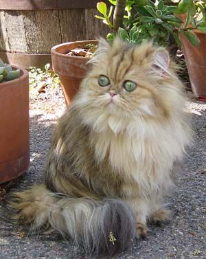 Mythicbells Persian Cats & Kittens - Sirocco: Shaded Golden Persian