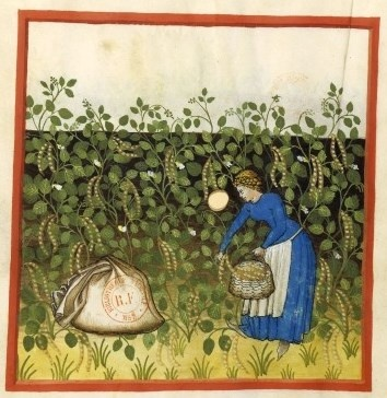 """Beans from The Tacuinum Sanitatis, a medieval handbook on healthlargely focusing on the growing & preparation of food, based on the Taqwim al‑sihha تقويم الصحة (""""Maintenance of Health""""), an 11th-century Arab medical treatise by Ibn Butlan of Baghdad. Four handsomely illustrated complete late 14th-century manuscripts of the Taccuinum, all produced in Lombardy, survive, in Vienna, Paris, Liège, and  Rome."""
