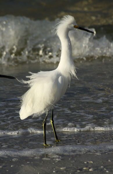 'Tousled Egret -  Zersauster Silberreiher' by Christiane Schulze Art And Photography on artflakes.com as poster or art print $21.49
