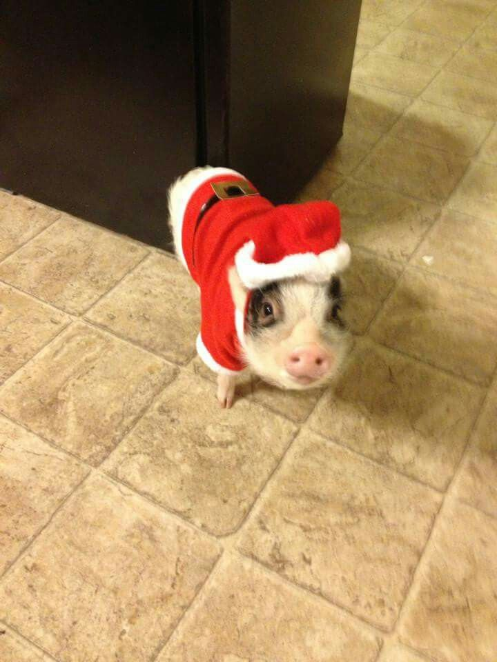 It's a mini potbellied pig in a Santa suit. I DARE you not to smile. (: