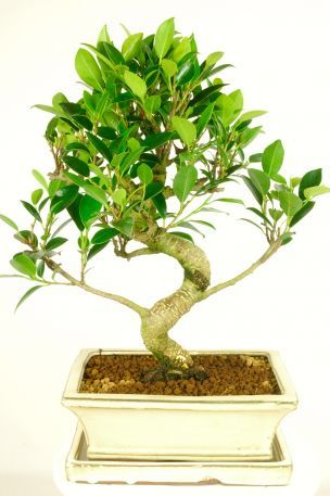 Premium Range Ficus Bonsai ~ great for beginners This bonsai has a lovely bright green lush canopy. It is an easy bonsai to care for and would be ideal for a beginner. This bonsai displays great character with a fabulous trunk and outstanding foliage. Ideal for an office. This is the bonsai you would receive!
