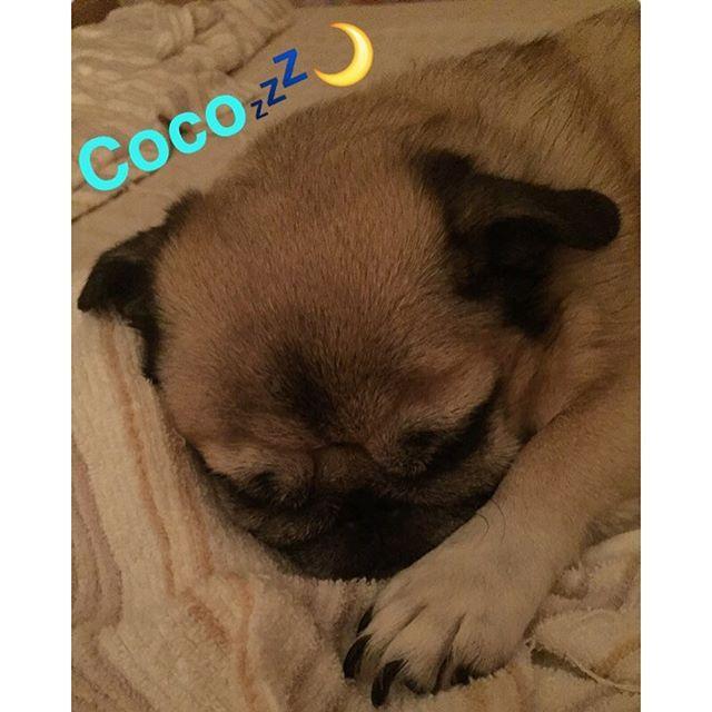 スヤスヤ寝るcoco💤🌙#pug #chihuahua #mix #pugs #dog #puglove #pugstagram #puglife #pugmania #cute #insta #follow4follow #パグ #チワワ #ミックス #ぱぐ #愛犬 #犬 #かわいい #子供💘💘🐶🐶💙💙❤️❤️💘💘🐶🐶💙💙❤️❤️💘💖💚💛💜💘💖💚
