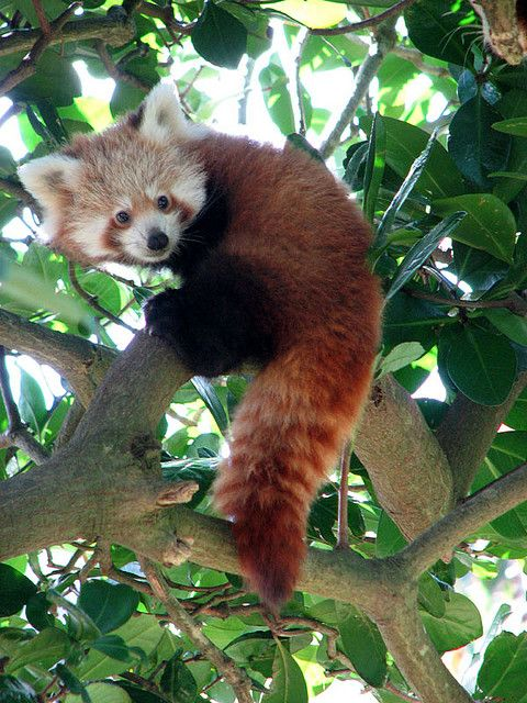 Favori 439 best Red Panda images on Pinterest | Red pandas, Red and Wild  OH52