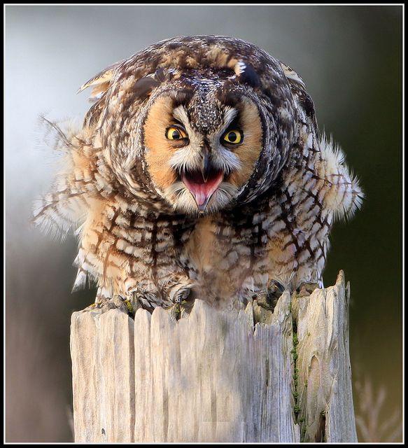 Really cheesed-off long-eared owl - by winnu, via Flickr